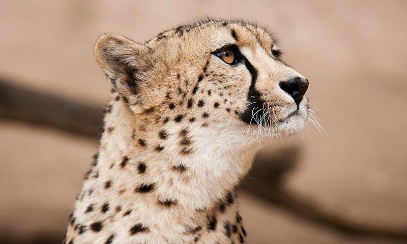 Cheetahs at Cango Wildlife Ranch